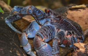 Coconut Crab Desktop Wallpaper