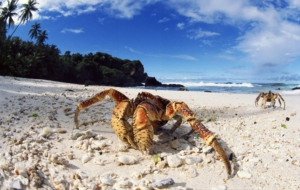 Coconut Crab For Desktop