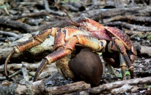 Coconut Crab For Desktop Background