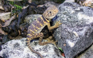 Collared Lizard High Definition Wallpapers
