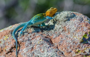 Collared Lizard High Quality Wallpapers