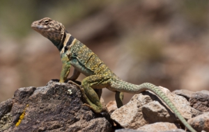 Collared Lizard Wallpapers And Backgrounds