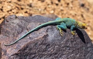 Collared Lizard For Desktop Background