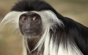 Colobus Monkey Background