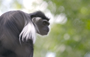 Colobus Monkey Desktop