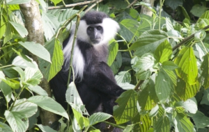 Colobus Monkey Desktop Wallpaper