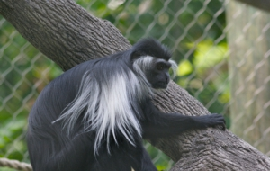 Colobus Monkey HD Background