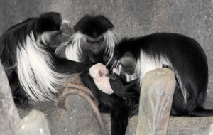 Colobus Monkey HD Desktop