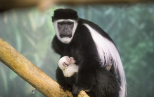Colobus Monkey Free Images