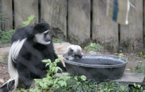 Colobus Monkey Full HD