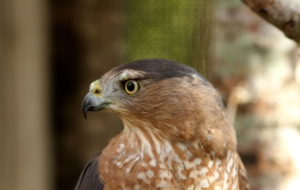Cooper's Hawk For Desktop Background