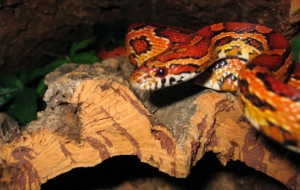 Corn Snake Wallpapers And Backgrounds
