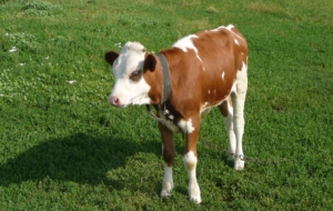 Cow Photos