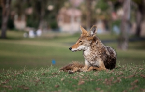 Coyote High Definition