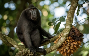 Crested Black Macaque HD Wallpaper