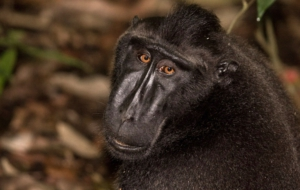 Crested Black Macaque Images