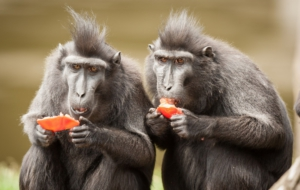 Crested Black Macaque Wallpaper