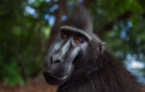Crested Black Macaque Wallpapers