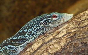 Crocodile Monitor High Definition Wallpapers