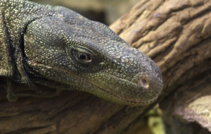 Crocodile Monitor High Quality Wallpapers
