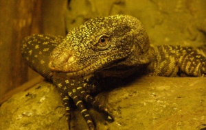 Crocodile Monitor Images