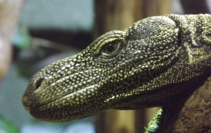 Crocodile Monitor Pictures