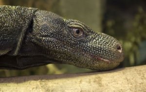 Crocodile Monitor Wallpaper