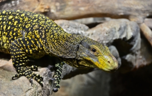 Crocodile Monitor Wallpapers