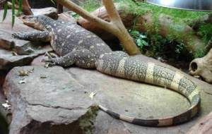 Crocodile Monitor Wallpapers HD
