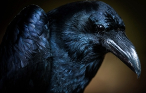 Crow Wallpapers HD