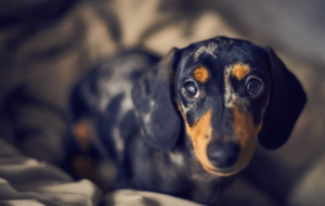 Dachshund Computer Backgrounds