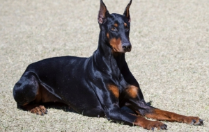 Doberman Pinscher HD Desktop