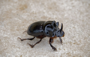 Dung Beetle Download Free Backgrounds HD