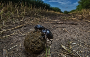 Dung Beetle Wallpapers