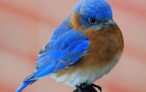 Eastern Bluebird Desktop Wallpaper