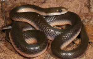Eastern Brown Snake Desktop Images