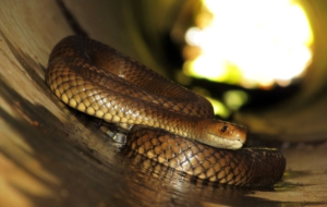 Eastern Brown Snake HD Background