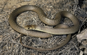 Eastern Brown Snake Photos