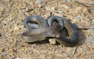 Eastern Brown Snake Wallpapers HD