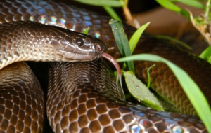Eastern Brown Snake For Desktop Background