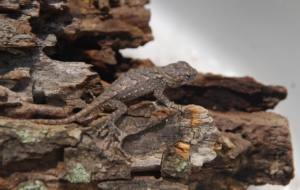 Eastern Fence Lizard Background
