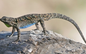 Eastern Fence Lizard Computer Wallpaper