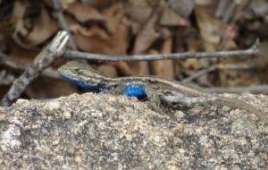Eastern Fence Lizard For Desktop