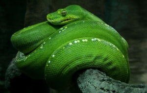 Eastern Green Mamba 4K