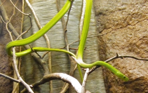 Eastern Green Mamba HD Background