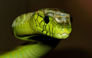 Eastern Green Mamba Photos