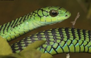 Eastern Green Mamba For Desktop