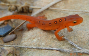 Eastern Newt HD Background
