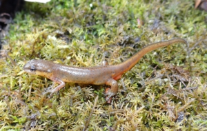 Eastern Newt HD Desktop