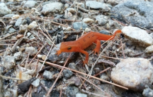 Eastern Newt Wallpapers